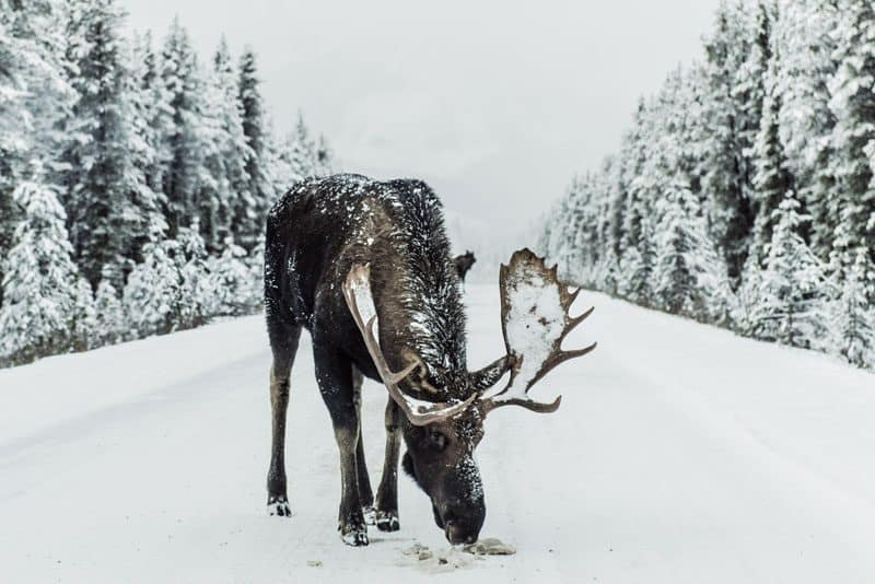 Moose grazing in snow at Banff National Park