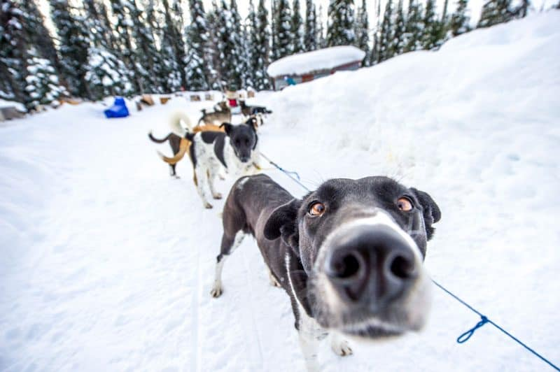 Dog sledding with Candle Creek Dogsledding tours at Big White Ski Resort in Kelowna, Canada