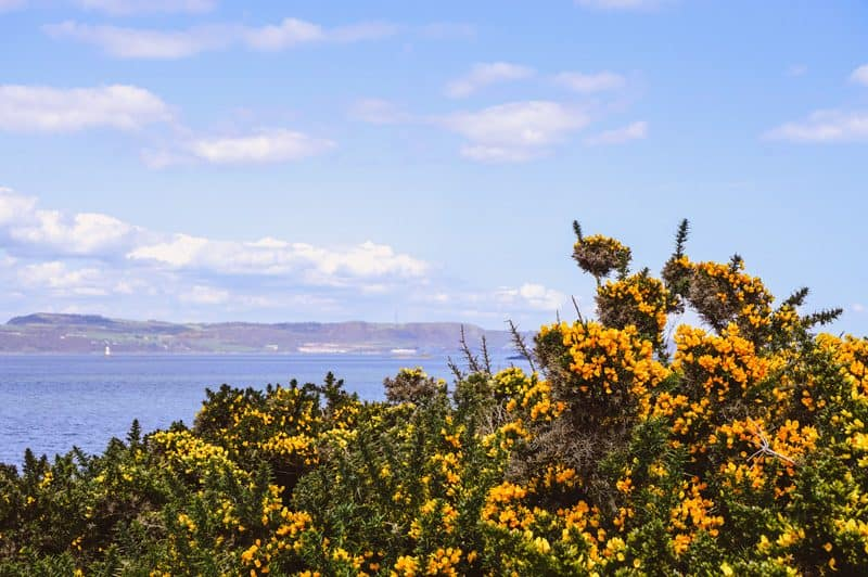 Yellow thorn bushes with flowers on Cramond Island in Edinburgh, Scotland