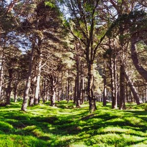 Canvas print forest in Caingorms National Park