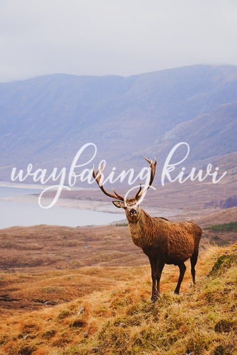 wild stag in the scottish highlands